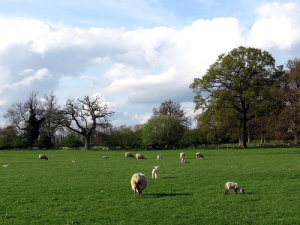 Sheep grazing in the Cotswolds