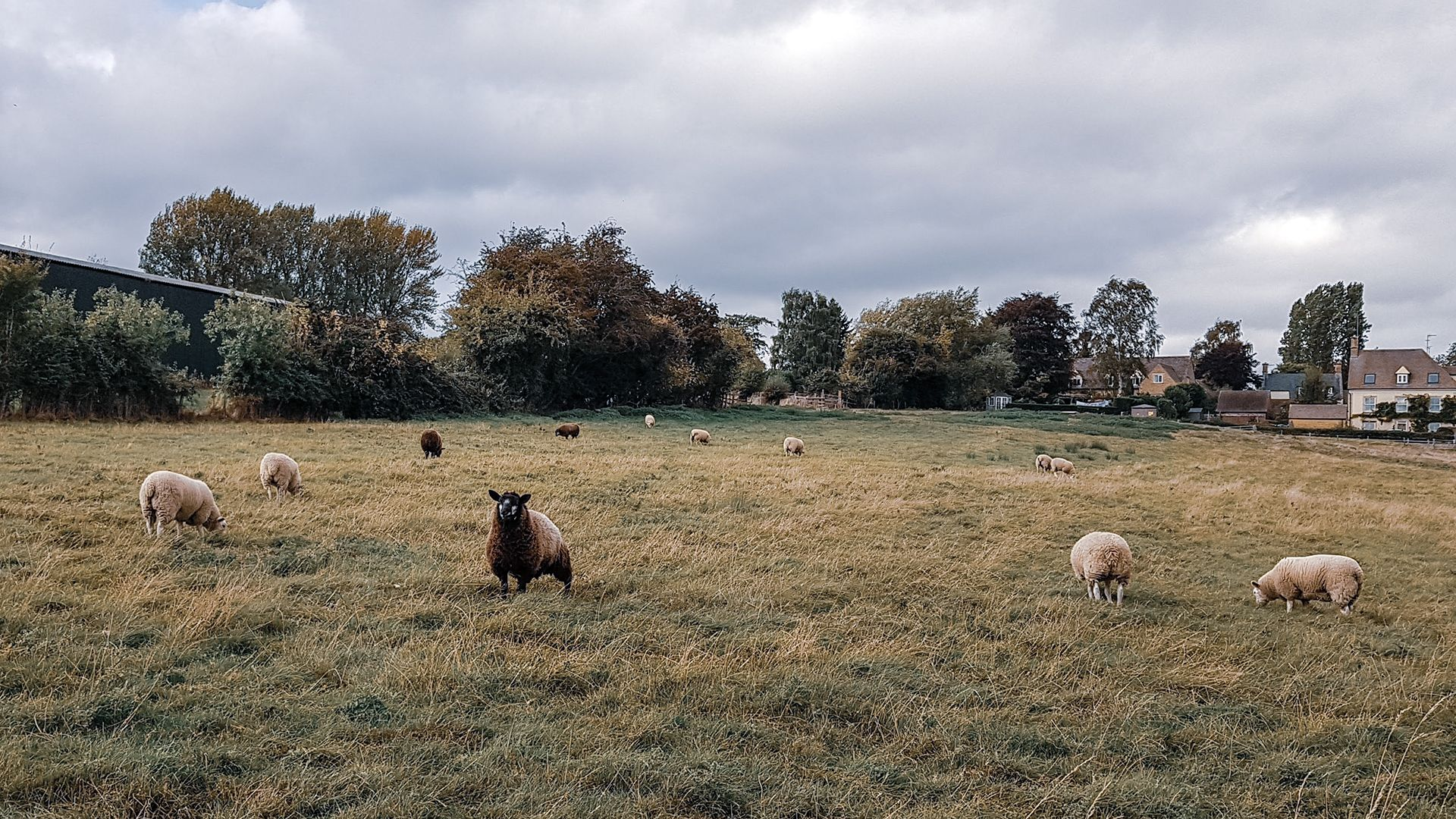 Sheep grazing in a field in the Cotswolds village of Ebringtom